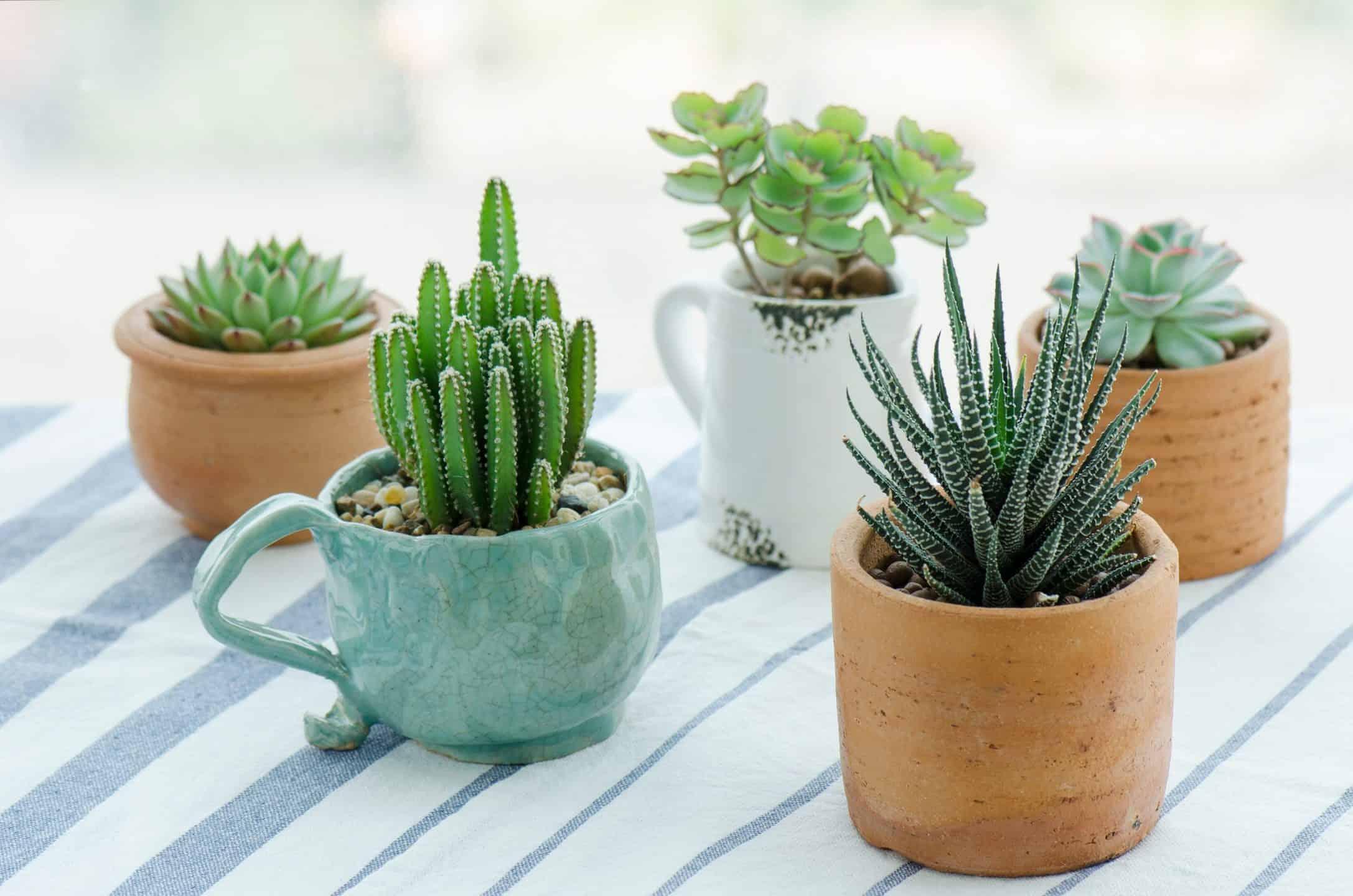 cactus-credit-panattar-shutterstock